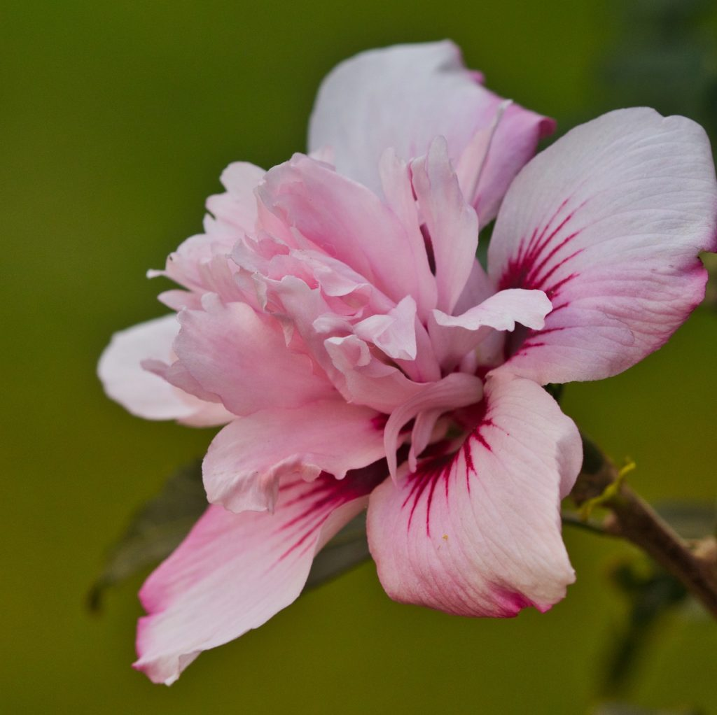 flowering-hibiscus-3689357_1280