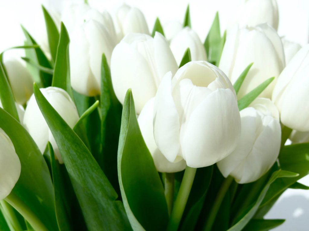 White-Tulips-HD